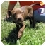 Photo 3 - Labrador Retriever Mix Puppy for adoption in Mahwah, New Jersey - Cinnamon