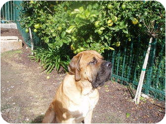 Mastiff Dog for adoption in El Cajon, California - Clive