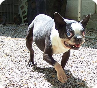 Boston Terrier Dog for adoption in Antioch, Illinois - Rex I NEED A HOME FOR XMAS!!