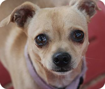 Chihuahua Mix Dog for adoption in Philadelphia, Pennsylvania - Noah