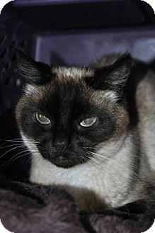 Siamese Cat for adoption in Maple Ridge, British Columbia - Merise