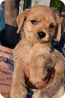 Cocker Spaniel/Terrier (Unknown Type, Small) Mix Puppy for adoption in San Diego, California - Honey