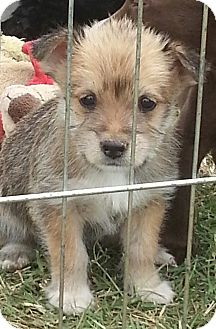 Schnauzer (Miniature)/Terrier (Unknown Type, Small) Mix Puppy for adoption in San Antonio, Texas - ChinaDoll