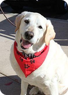 Labrador Retriever Dog for adoption in San Francisco, California - Maggie