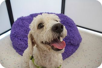 Poodle (Miniature) Mix Dog for adoption in Mission Viejo, California - TREVOR