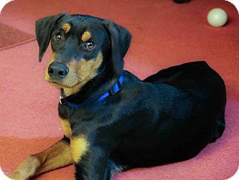 Doberman Pinscher Mix Dog for adoption in New Oxford, Pennsylvania - Deeks