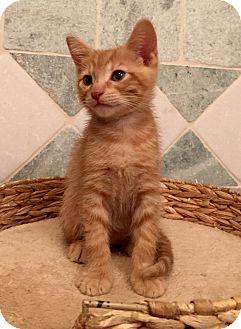 American Shorthair Kitten for adoption in Studio City, California - MARY ANN