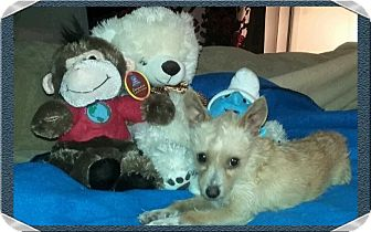 Terrier (Unknown Type, Medium) Mix Dog for adoption in Mesa, Arizona - MOUSE 1 YR TERRIER MALE