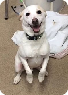 Jack Russell Terrier/American Eskimo Dog Mix Dog for adoption in Tiffin, Ohio - OLAF