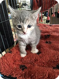 Domestic Shorthair Kitten for adoption in Palm Springs, California - Ella