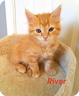 Domestic Mediumhair Kitten for adoption in Tega Cay, South Carolina - River