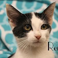 Domestic Shorthair Kitten for adoption in Wichita Falls, Texas - Reme