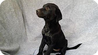 Sheltie, Shetland Sheepdog/Border Collie Mix Puppy for adoption in Olympia, Washington - Trista