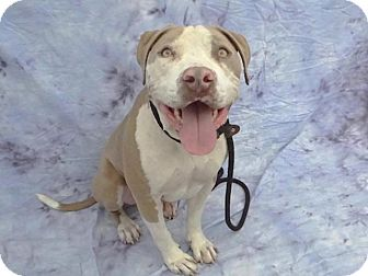 Pit Bull Terrier Mix Dog for adoption in Pico Rivera, California - Mikey