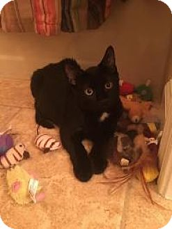 Domestic Shorthair Cat for adoption in Raritan, New Jersey - Sammy