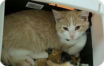 Domestic Mediumhair Kitten for adoption in Irwin, Pennsylvania - Amani