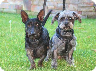 Shih Tzu/Scottie, Scottish Terrier Mix Dog for adoption in Carlsbad, California - Kevin & Adam