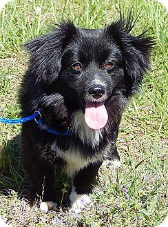 Corgi/Terrier (Unknown Type, Small) Mix Dog for adoption in Niagara Falls, New York - Theodore (12 lb) Sweet Boy