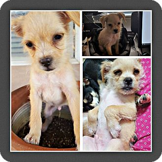 Chihuahua/Terrier (Unknown Type, Small) Mix Puppy for adoption in Tijeras, New Mexico - Sarang