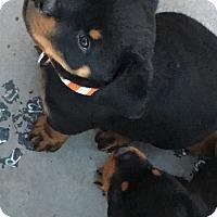Adopt A Pet :: Timmy - Gilbert, AZ