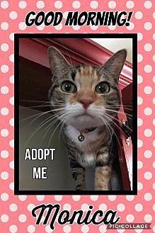 Domestic Shorthair Cat for adoption in Arlington/Ft Worth, Texas - Monica
