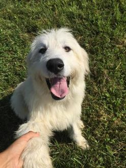 Great Pyrenees Mix Dog for adoption in Hendersonville, North Carolina - Suzy
