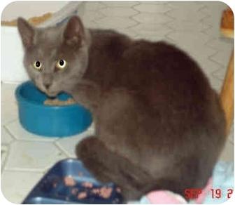 Domestic Shorthair Cat for adoption in Colmar, Pennsylvania - Dayton