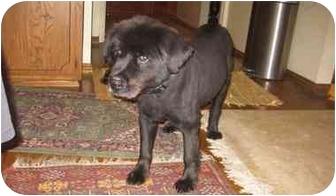 Chow Chow Mix Dog for adoption in Sherman Oaks, California - BUDDY