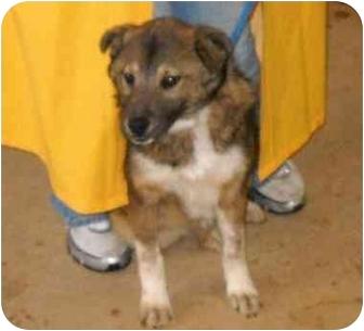 Collie/German Shepherd Dog Mix Dog for adoption in Grantville, Georgia - 10-7