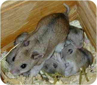 Hamster for adoption in Lewisville, Texas - Chinese Hamsters