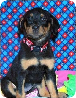 Rottweiler Mix Puppy for adoption in Broomfield, Colorado - Tinkerbell