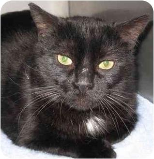 Domestic Shorthair Cat for adoption in Markham, Ontario - Snoop