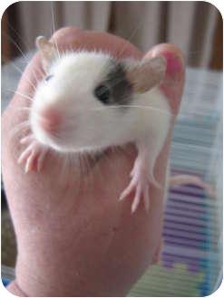 Rat for adoption in Cincinnati, Ohio - Luke