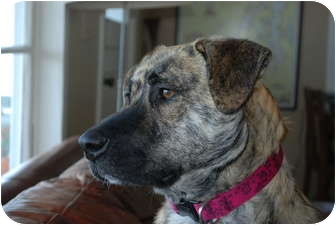 Shepherd (Unknown Type) Mix Dog for adoption in Seattle c/o Kingston 98346/ Washington State, Washington - Tasha