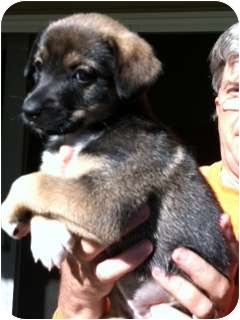 Shepherd (Unknown Type) Mix Puppy for adoption in Marlton, New Jersey - Shepherd Puppies