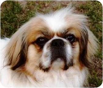 Tibetan Spaniel Dog for adoption in Mary Esther, Florida - Bernie