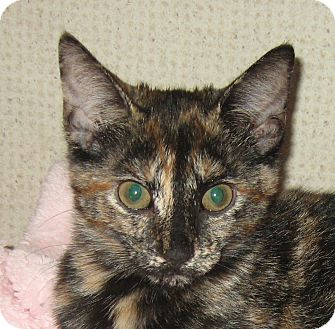 Domestic Shorthair Kitten for adoption in Hamilton, New Jersey - FOXY
