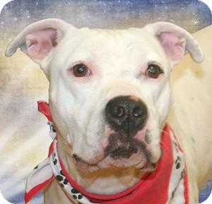 American Bulldog/Boxer Mix Dog for adoption in Cincinnati, Ohio - Kali