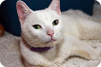 Domestic Shorthair Cat for adoption in Brooklyn, New York - Macaroon