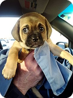 Pug/Jack Russell Terrier Mix Puppy for adoption in Evansville, Indiana - Charlie