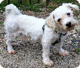 Bichon Frise Mix Dog for adoption in Forked River, New Jersey - Snowball