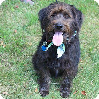 Labradoodle/Schnauzer (Giant) Mix Dog for adoption in SOUTHINGTON, Connecticut - Monti