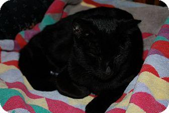 Domestic Shorthair Cat for adoption in Attica, Indiana - Silk