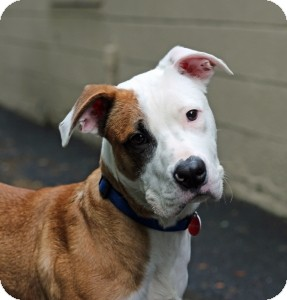 Pit Bull Terrier Mix Dog for adoption in Port Washington, New York - Hutch