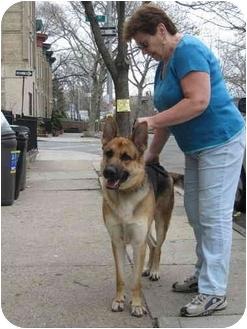 German Shepherd Dog Dog for adoption in Long Beach, New York - Brutus