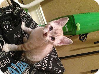 Domestic Shorthair Kitten for adoption in Cranford, New Jersey - Sissy