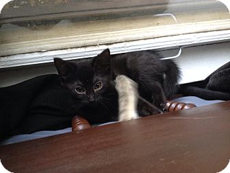 Domestic Shorthair Kitten for adoption in Arlington/Ft Worth, Texas - Dioge