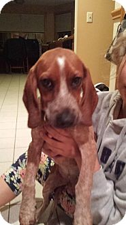 Coonhound Puppy for adoption in Salamanca, New York - Piper (purebred)