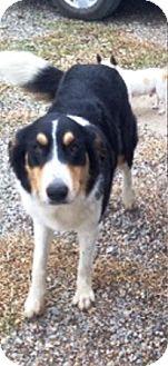 Collie/Border Collie Mix Dog for adoption in Ravenna, Texas - Elsa