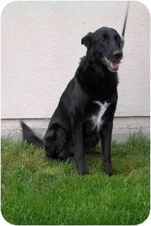 Labrador Retriever/Shepherd (Unknown Type) Mix Dog for adoption in Sheboygan, Wisconsin - Rocky